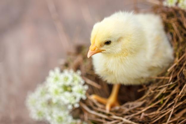 Belle poussin jaune sur le fond naturel du nid.