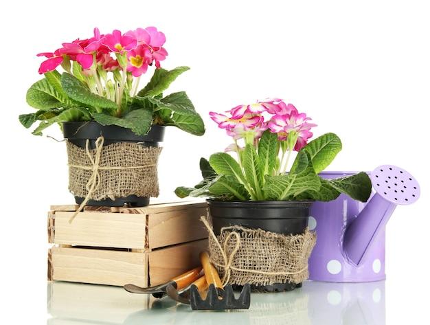 Belle primevère rose dans des pots de fleurs et des outils de jardinage, sur blanc
