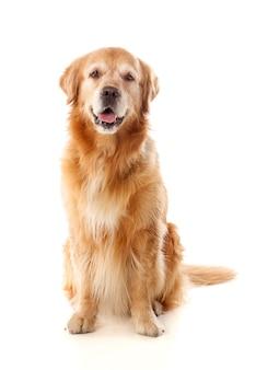 Belle race de chien golden retriever