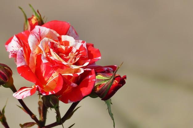 Belle rare dragon noir hybride rose rouge et blanc