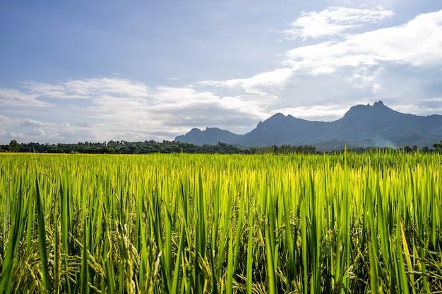 Belle rizière contre le ciel de petits nuages.