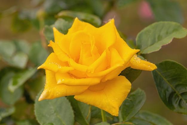 Une belle rose après la pluie