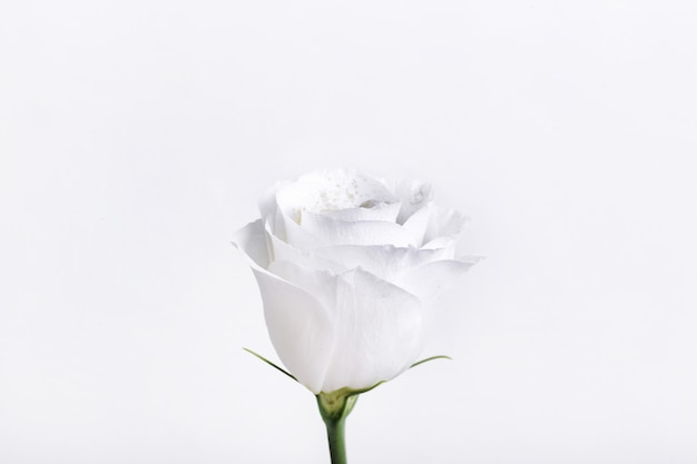 Belle rose blanche isolée