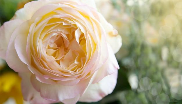 Belle rose avec un centre intéressant au soleil sur une surface naturelle floue