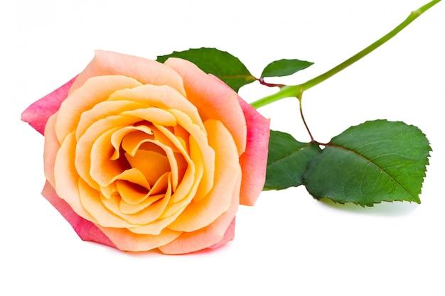 Belle rose fraîche isolée sur fond blanc