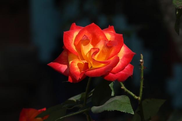 Belle rose fraîche orange et jaune