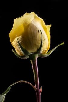Belle rose jaune macro