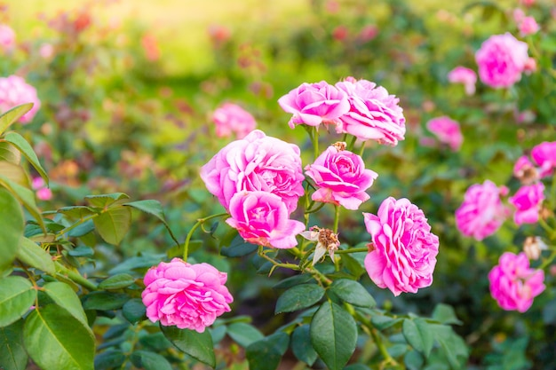 Belle rose rose dans un jardin avec fond de feuille verte