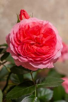Belle rose rose dans un jardin