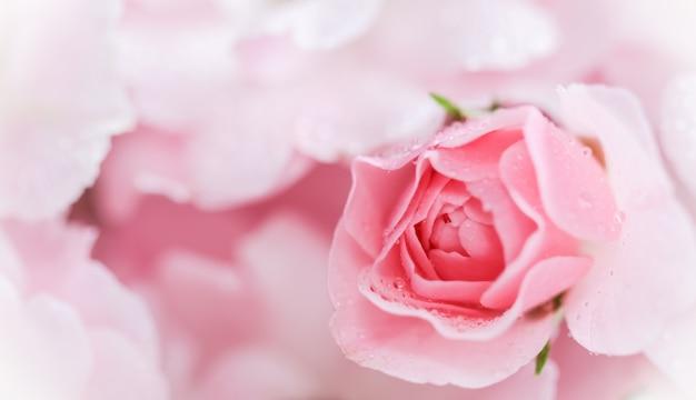 Une belle rose rose avec des gouttes d'eau peut être utilisée comme arrière-plan flou de style romantique