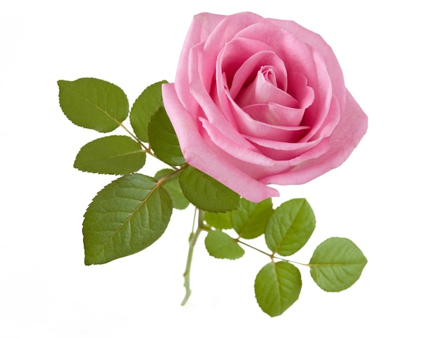 Belle rose rose isolé sur fond blanc