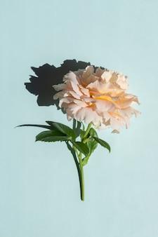 Belle rose rose pâle sur fond bleu. style minimaliste à la mode avec des ombres claires et sombres.
