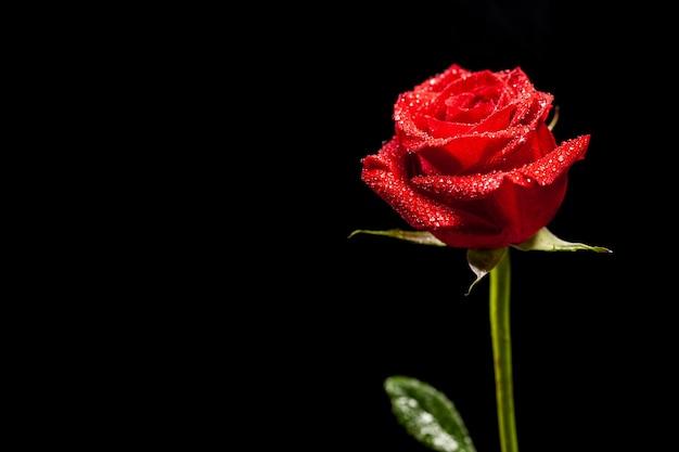 Belle rose rouge comme symbole de l'amour sur fond noir. symbole de passion. fleur naturelle.