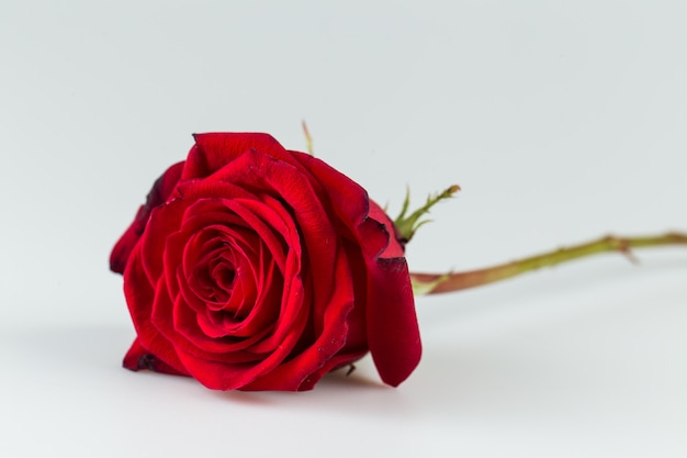 Belle rose rouge couchée dans une surface blanche