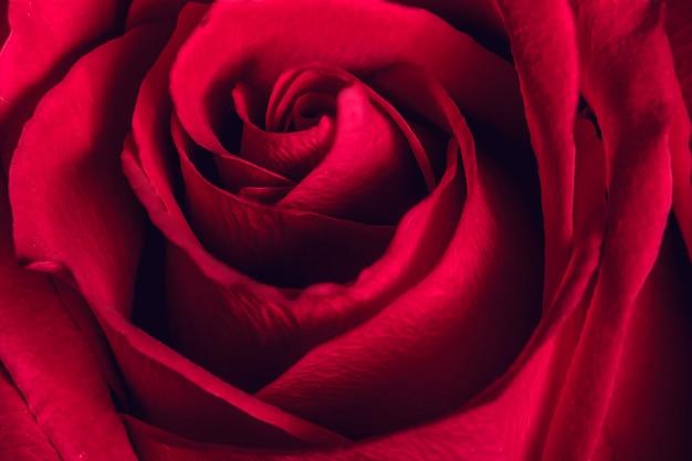 Belle rose rouge, gros plan