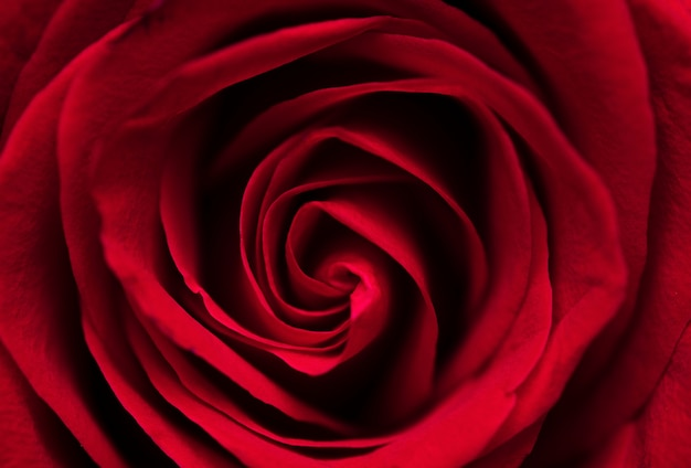 Belle rose rouge macro