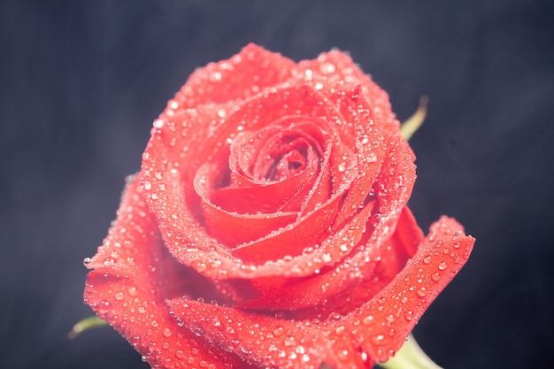 Belle rose rouge recouverte de gouttes de pluie sur fond noir. fermer.