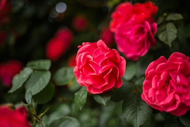 Belle rose rouge se bouchent