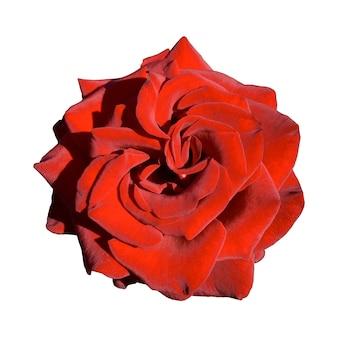 Belle rose rouge