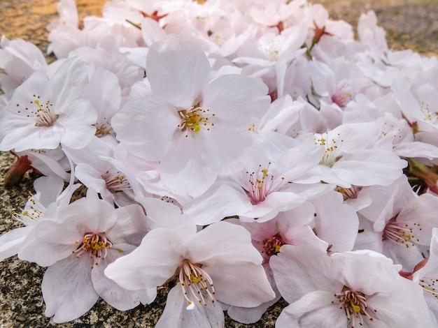 Belle rose sakura en pleine floraison à la saison, osaka, japon