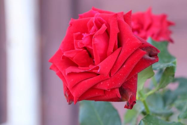 Belle rose en tropical