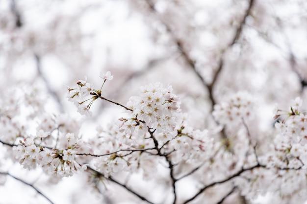 Belle sakura, fleur de cerisier