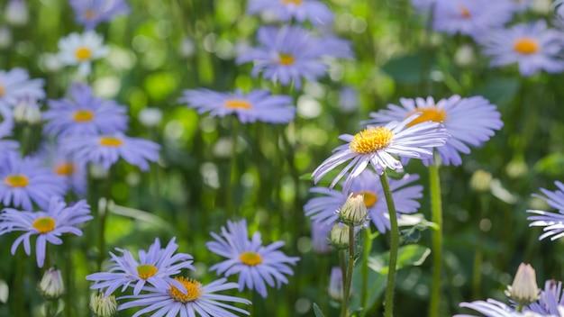 Belle scène de la nature avec des marguerites bleues médicales en fleurs un matin d'été. camomille de printemps de médecine alternative. fleurs dans un pré de beauté.
