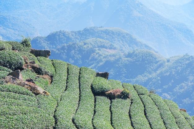 Belle scène de rangées de jardin de culture de thé vert avec ciel bleu et nuage