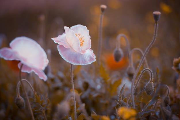 Belle shirley pavot fleurs en lumière naturelle
