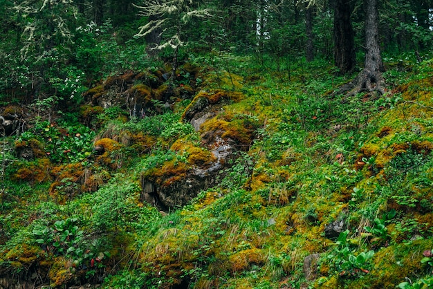 Belle taïga avec une végétation riche sur une pente raide moussue. verdure fraîche et mousse épaisse à flanc de montagne. paysage de forêt verte atmosphérique avec une belle flore et des mousses. fraîcheur des bois.