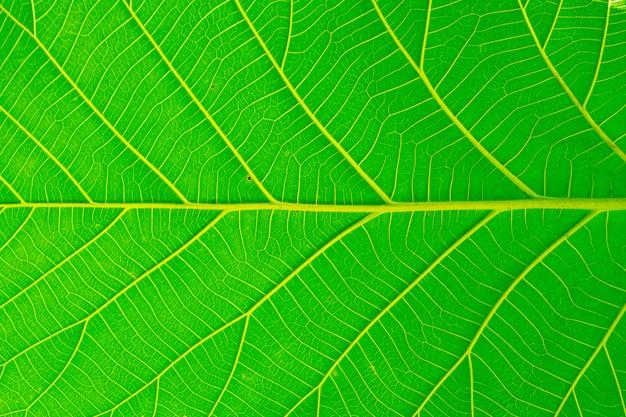 Belle texture de feuilles naturelles vertes de fond.