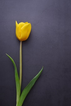 Une belle tulipe jaune vif en gros plan contre un mur de stuc gris foncé.