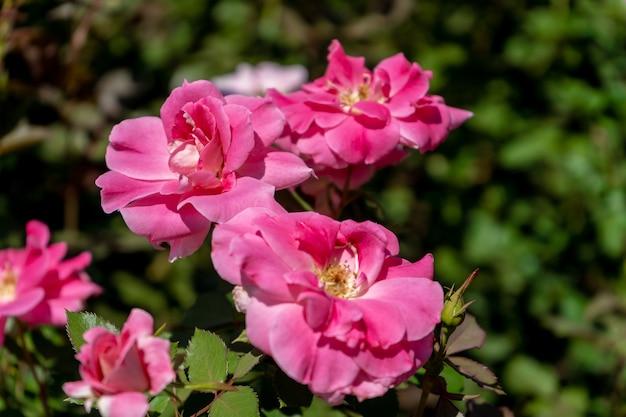 Belle variété de rose cultivée dans le jardin rosedal de palermo à buenos aires, argentine.