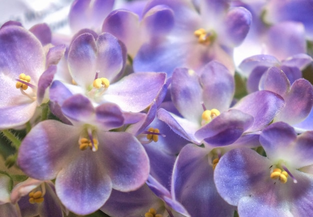 Belle variété de violettes. fermer.
