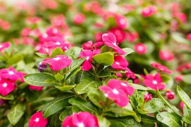 Belle vinca rouge en fleurs dans un jardin à la journée ensoleillée de l'été.
