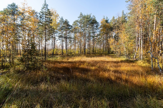 Belle voie de forêt de pins au début de l'automne à sestroretsk, en russie.