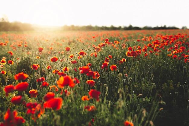 Belle vue avec champ de coquelicots rouges au coucher du soleil.