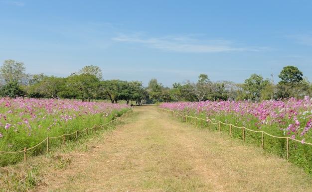 Belle vue sur le champ de fleurs de cosmos avec passerelle