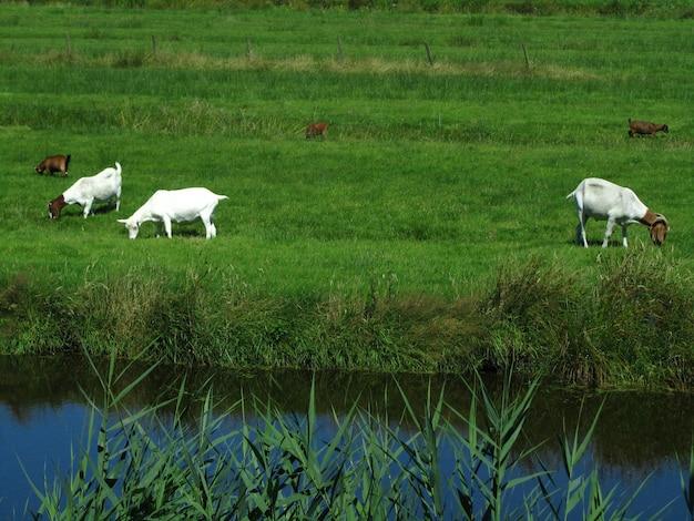 Belle vue sur cinq chèvres de ferme paissant sur l'herbe dans un champ à côté d'un canal aux pays-bas