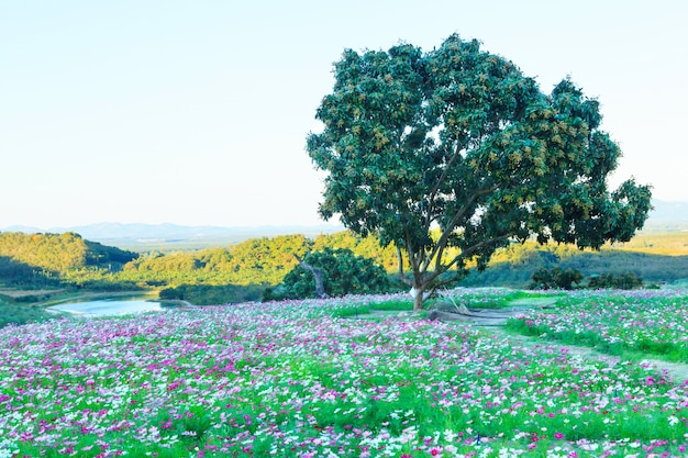 Belle vue du champ de fleurs sauvages cosmos naturel de l'été en montagne paysage lac arrière