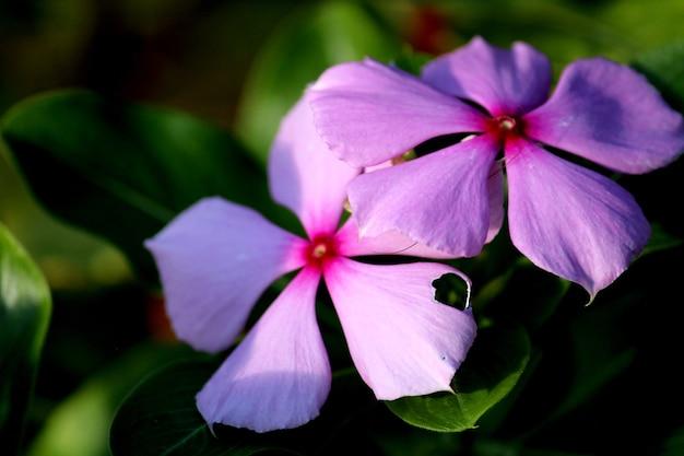 Une belle vue sur la fleur de pervenche