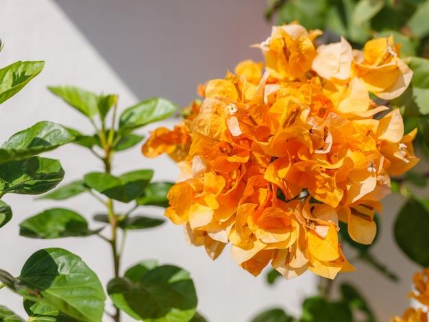 Belle vue de fleurs de bougainvilliers en or séché (épineuses fleurs de vigne ornementales)