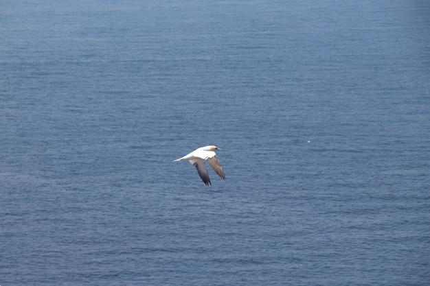 Belle vue sur un fou de bassan volant au-dessus de l'eau sur l'île helgoland
