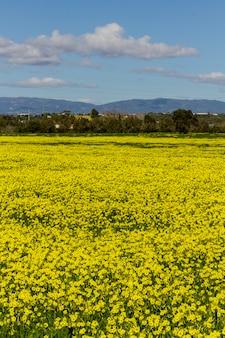 Belle vue sur un paysage de campagne printanière de fleurs jaune pesal-caprae oxalis sur lagoa, portugal.