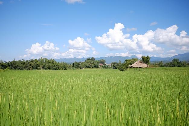 Belle vue de paysage de rizières en terrasses et chalet.
