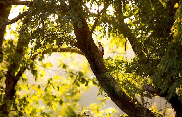 Belle vue sur le pic rouge assis sur un grand arbre au coucher du soleil