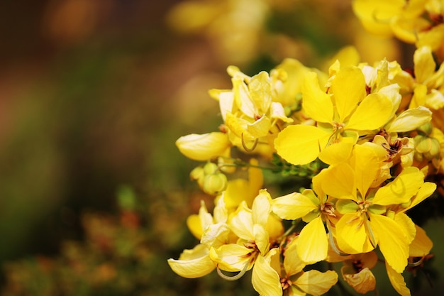 Une belle vue rapprochée de la fleur de senna bicapsularis.