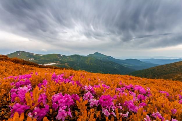 Belle vue sur le rhododendron rose rue fleurs qui fleurissent sur la pente de la montagne avec des collines brumeuses avec de l'herbe verte et des montagnes des carpates à distance avec un ciel de nuages dramatiques. beauté du concept de la nature.