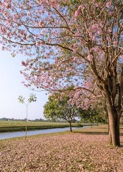 Belle vue sur trompette rose ou fleur de tabebuia