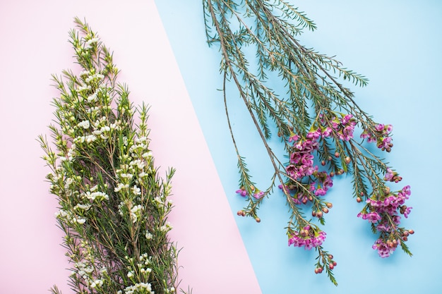 Belle waxflower rose et blanc sur fond de papier multicolore avec espace de copie. printemps, été, fleurs, concept de couleur, journée de la femme.